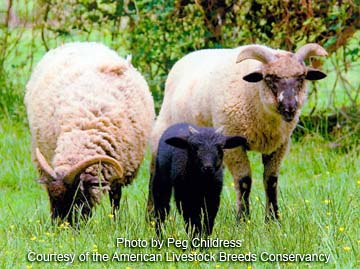 Hog Island sheep - photo by Peg Childress