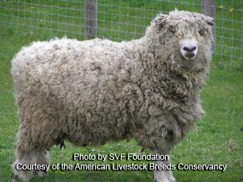 Cotswolds sheep / نژاد گوسفند کاتسولد