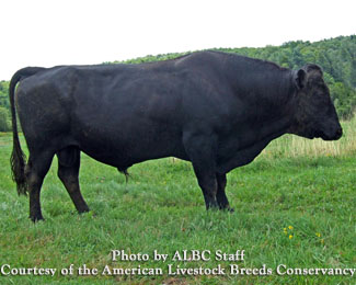 گاو کری /kerry cattle
