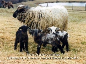 American Livestock Breeds Conservancy Navajo Churro Sheep
