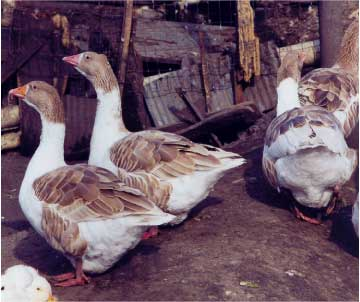 Pommeranian Geese; Photo provided by: D.P. Sponenberg.